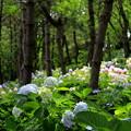 写真: 紫陽花の森