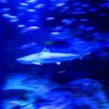 写真: Swimming With A Shark