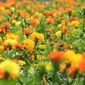 写真: Orange & Yellow