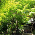 Photos: 夏もみぢ