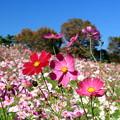 写真: 秋のさくら