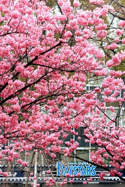 ハマスタ桜