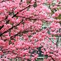 Photos: ハマスタ桜