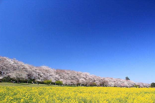 Photos: 桜の堤