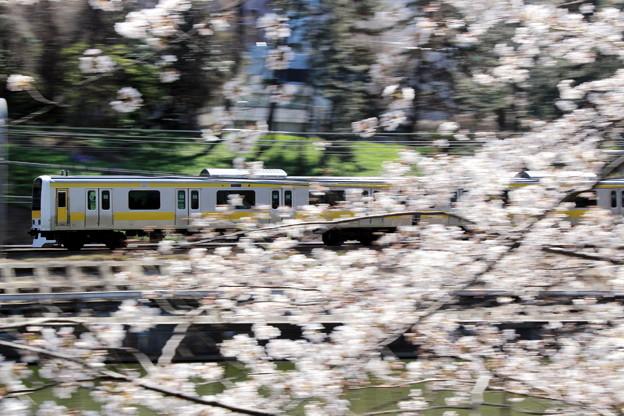Photos: 桜散らして