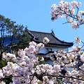Photos: 江戸城の桜