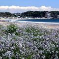 Photos: 花咲く浜辺