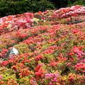 Photos: つつじの園