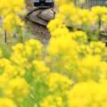 Photos: 菜の花の向うから