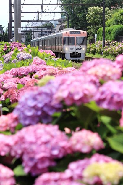 京王紫陽花ライン