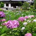 Photos: 濱のアジサイ寺