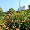 Photos: ミニひまわり畑