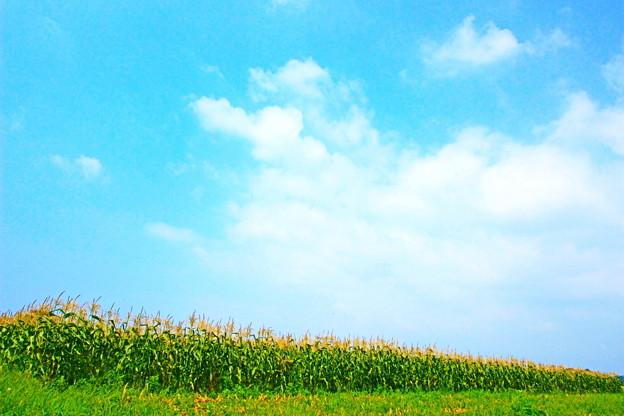 Ayase Sweet Corn