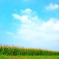Photos: Ayase Sweet Corn
