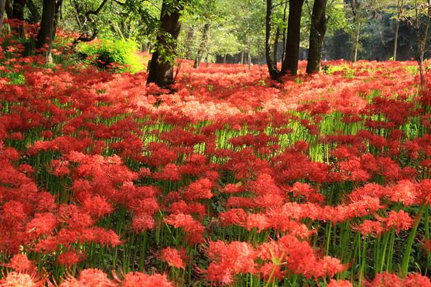 Photos: 紅い森