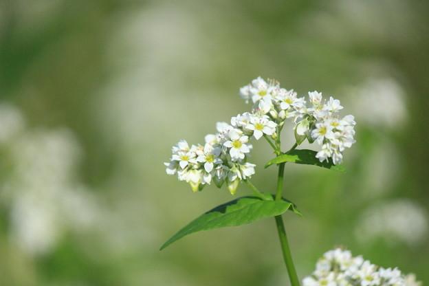 White Soba Flower