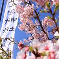 Photos: 金次郎の春