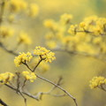 Early Spring Yellow
