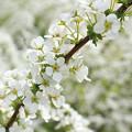 Photos: 雪の花