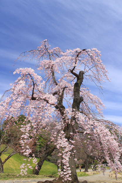Photos: 花降る