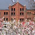 Photos: 三色桜