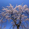 Photos: 華シャワー