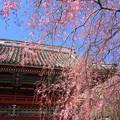 Photos: 花降る山門