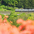 Photos: 秩父鉄道ツツジ添え
