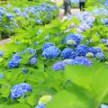 Photos: 青の小径