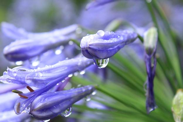 Purple Tears