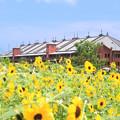 Photos: ヒマワリ畑の向う側