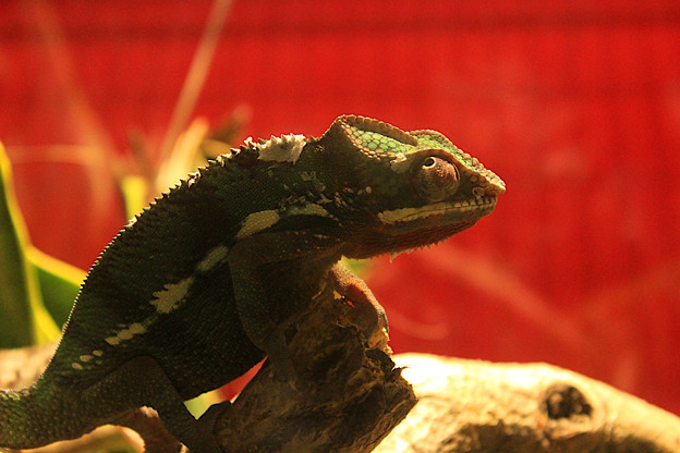 Thinking With A Reptile
