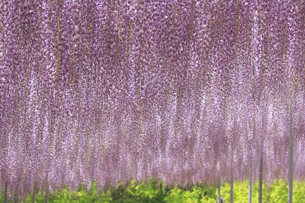 Purple Curtain