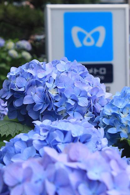 メトロ紫陽花