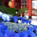 浅草ブルー紫陽花