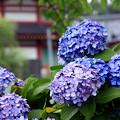 弁天ブルー紫陽花