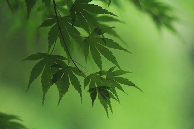 深緑もみぢ