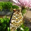 モモイロタンポポと蝶2 ツマグロ2月羽化17