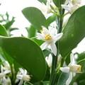 白く香る花