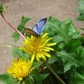 タンポポと蝶