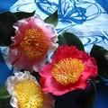 肥後椿3種