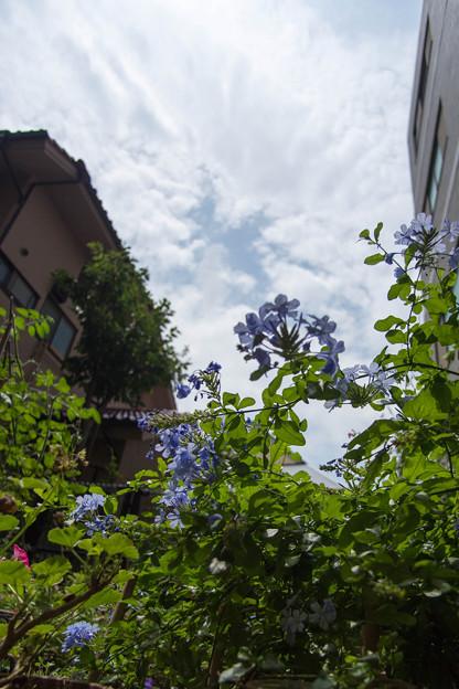 庭の花 130803-2