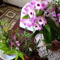 Photos: デンドロの和製のが開花していました。