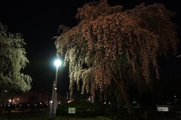 岩手公園のしだれ桜