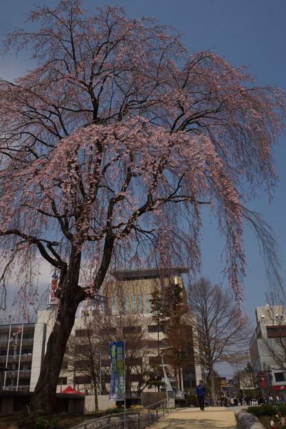 岩手公園のしだれ桜 昼景