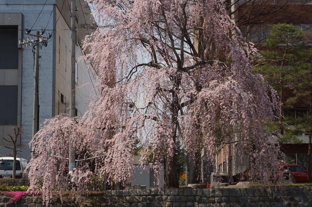 桜の滝のよう・・・  (盛岡中津川沿い)