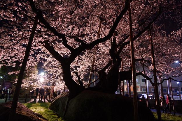 石割桜 (満開になりました!!)