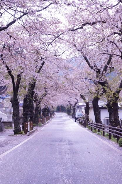 唐丹の桜並木 <桜のトンネル>