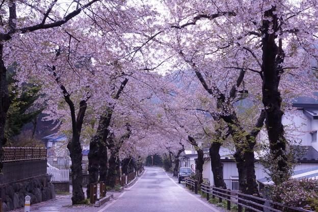 桜のトンネル 唐丹の桜並木