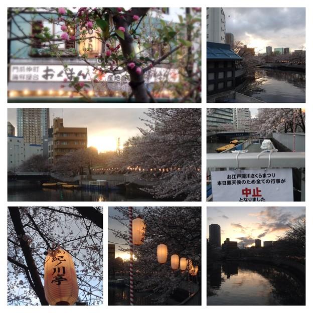 提灯と桜 ~お江戸深川さくらまつり